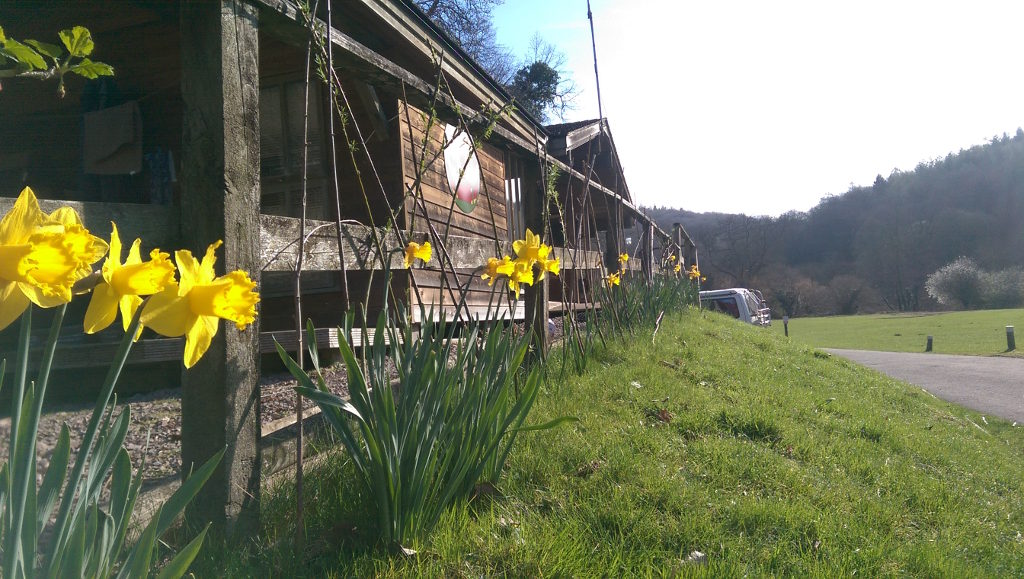 Daffodills growing outside the wardens cabin