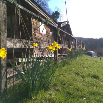 Daffodills growing outside the wardens cabin